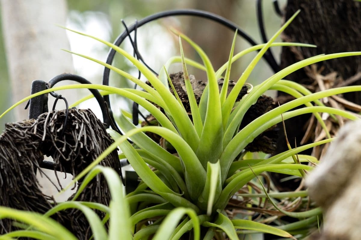 Tillandsia houseplant in the table