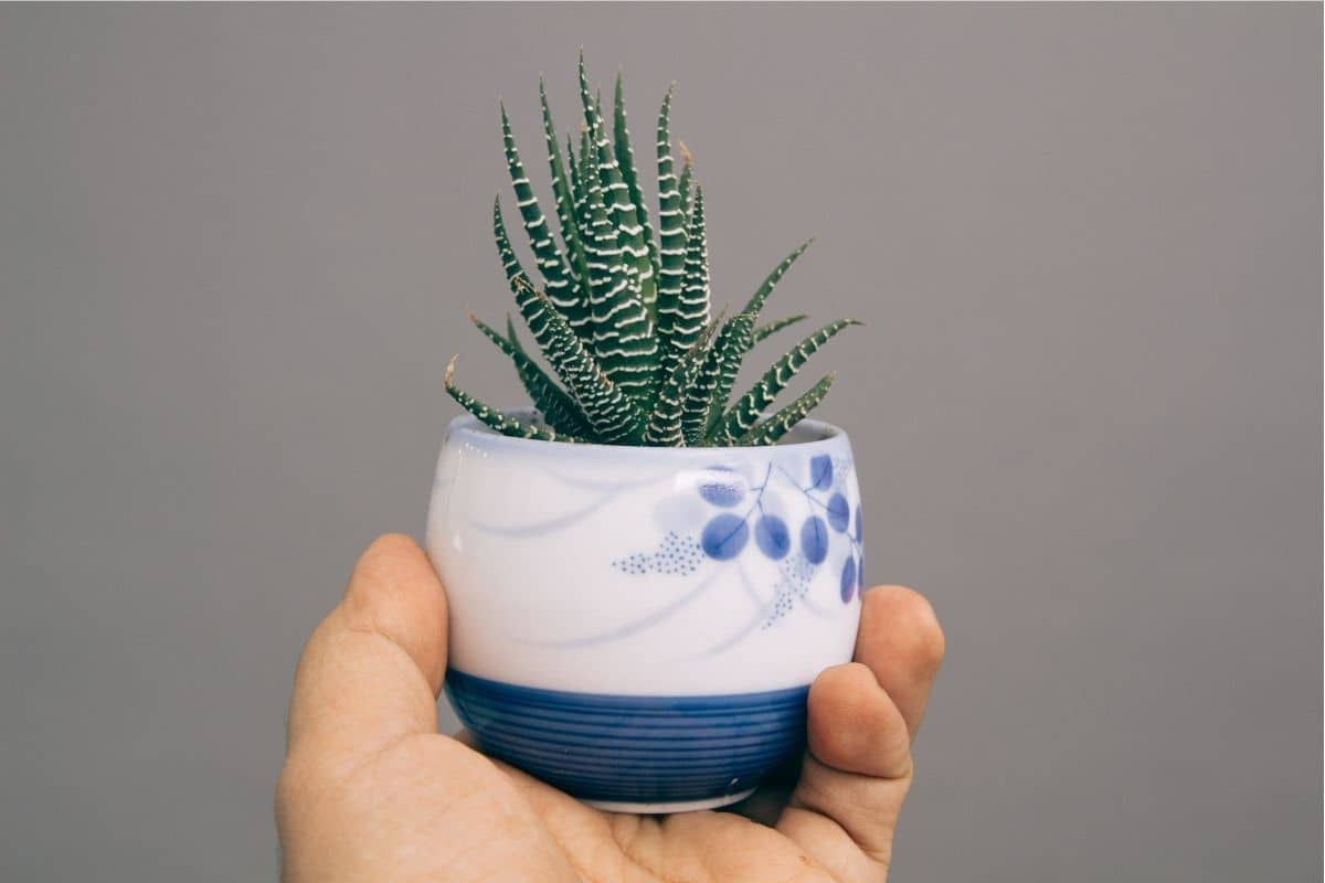 holding a Zebra plant with its spiky appearance in a pot