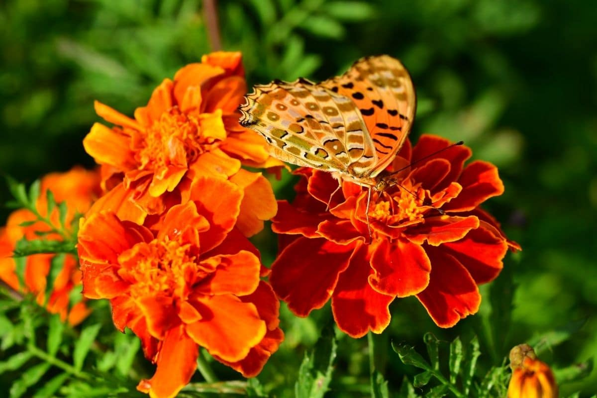 butterfly pollinating the marigold flowers