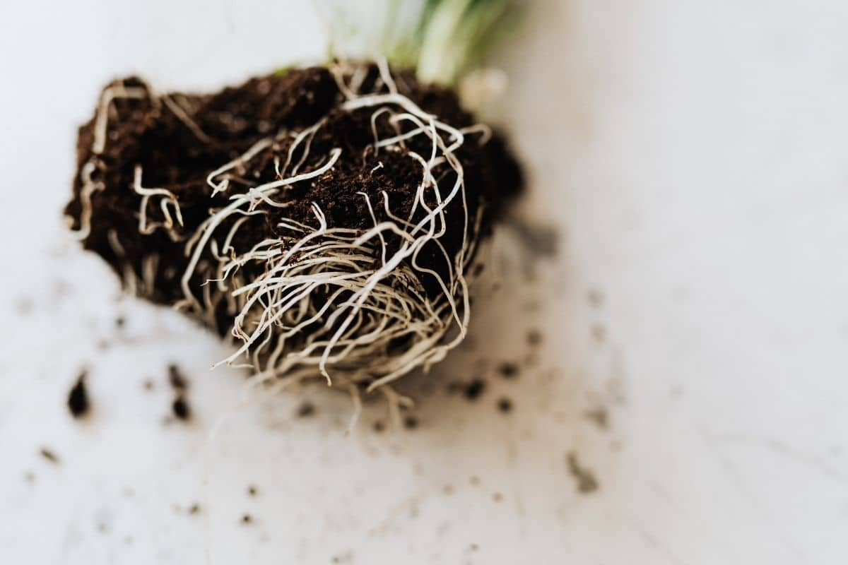 close up roots of a plant with soil