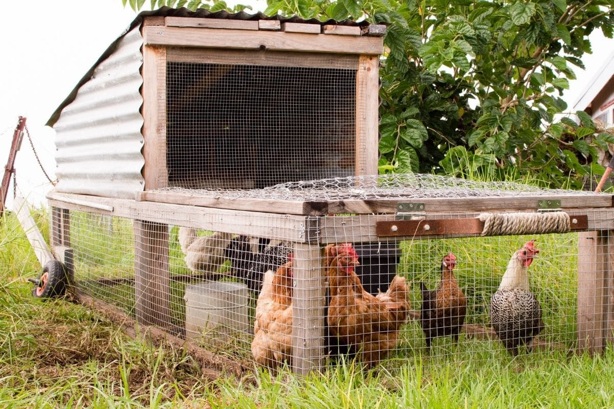 chickens in their pen or in their cage/house, in the farm