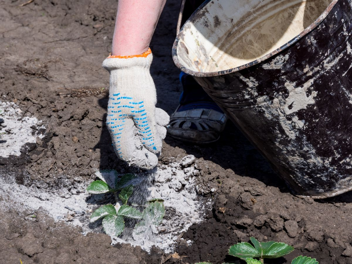 spreading wood ash as fertilizer to the plants in the garden