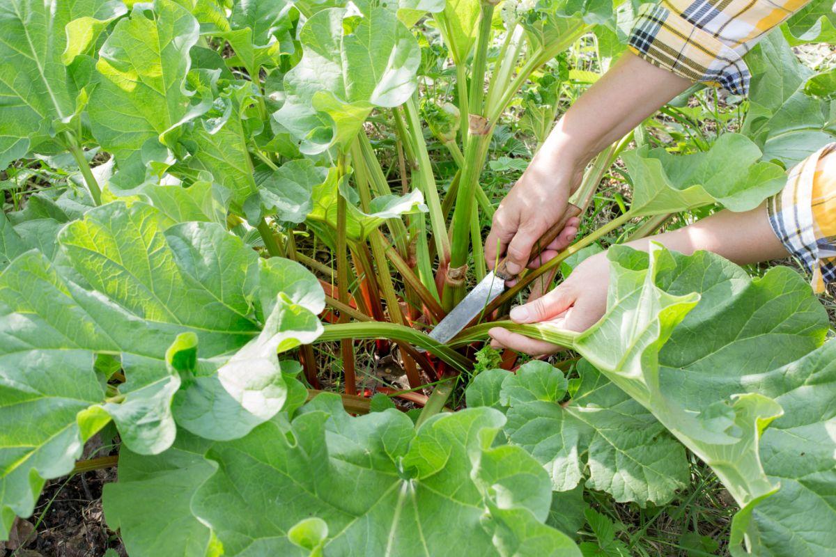 harvesting rhubarb stalks in the garden