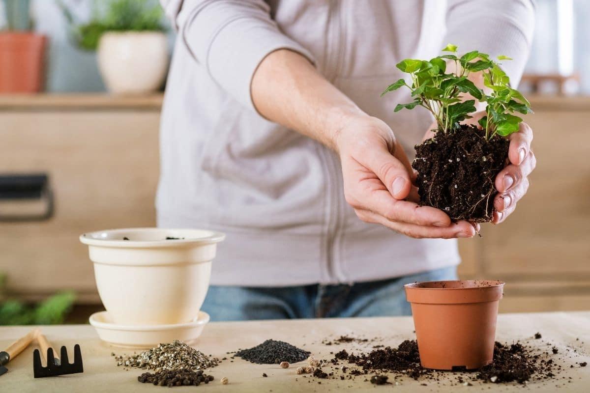 repotting a young seedling a bigger pot