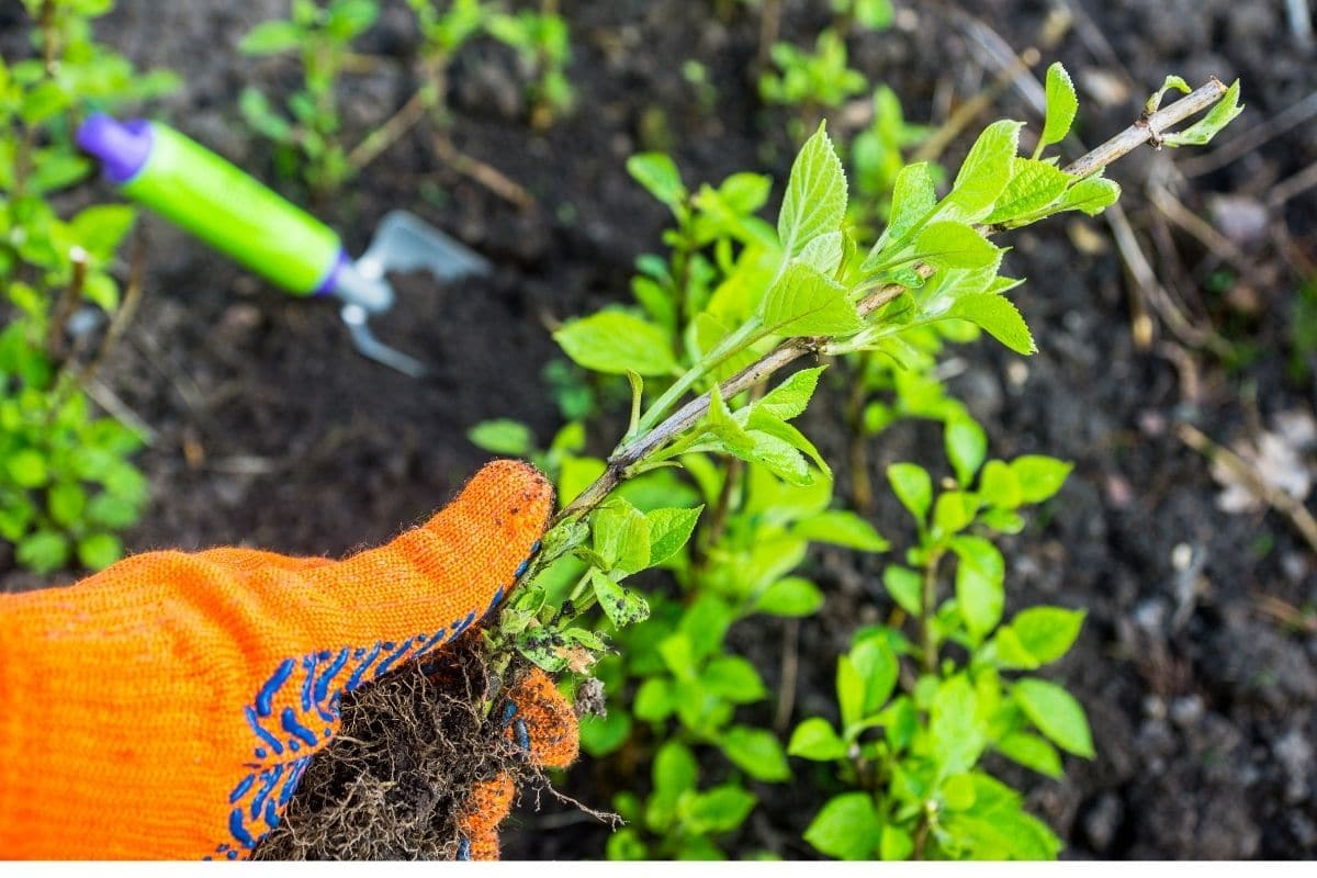holding a branch of hydrangea or planting in the garden