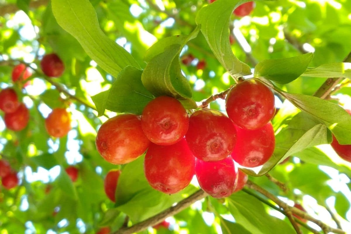 fresh ripe cranberries hanging from a tree in the garden