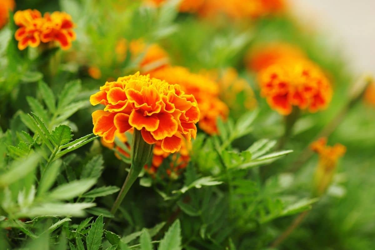 red and orange marigold flowers blooming in the garden