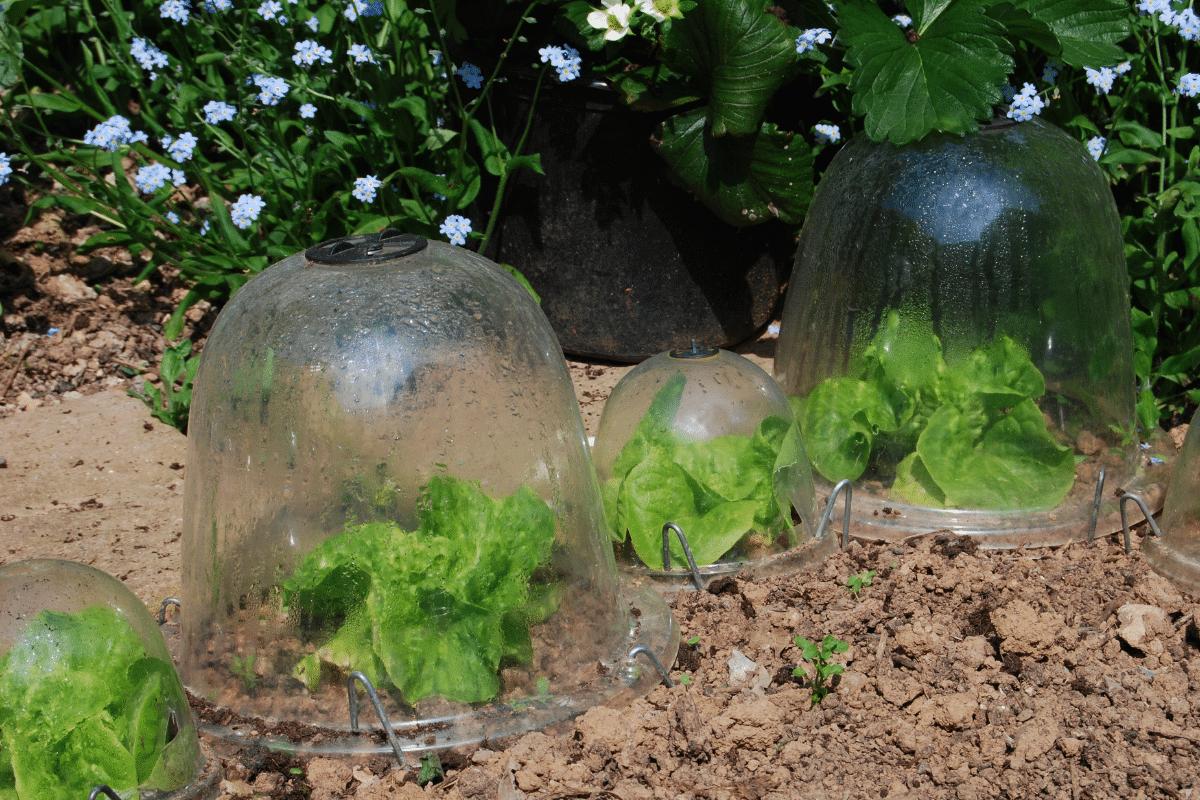 Bell jar cloche in the garden