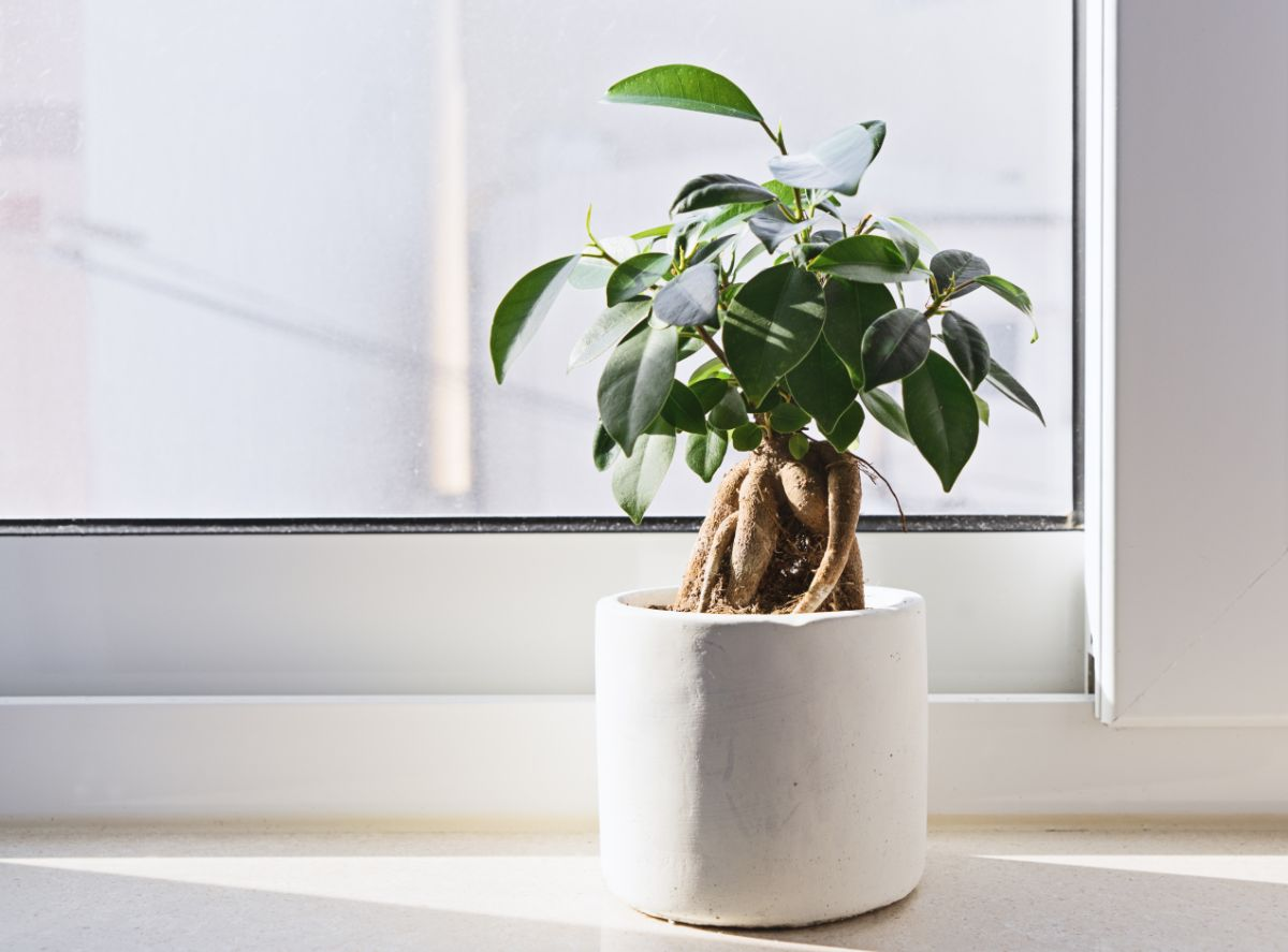 Bonsai in a white pot by the window in the office