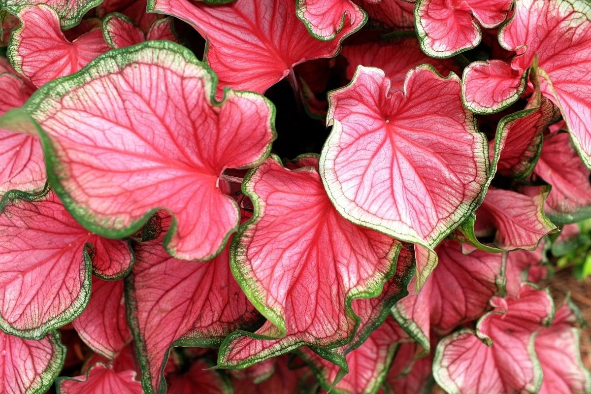 Caladium plant, a tropical foliage, with pink leaves