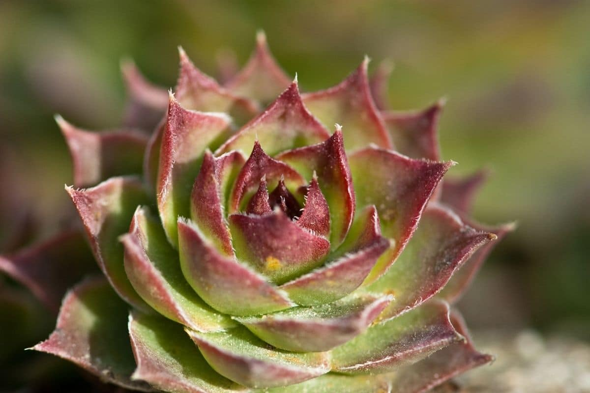 hens and chicks succulents outdoors
