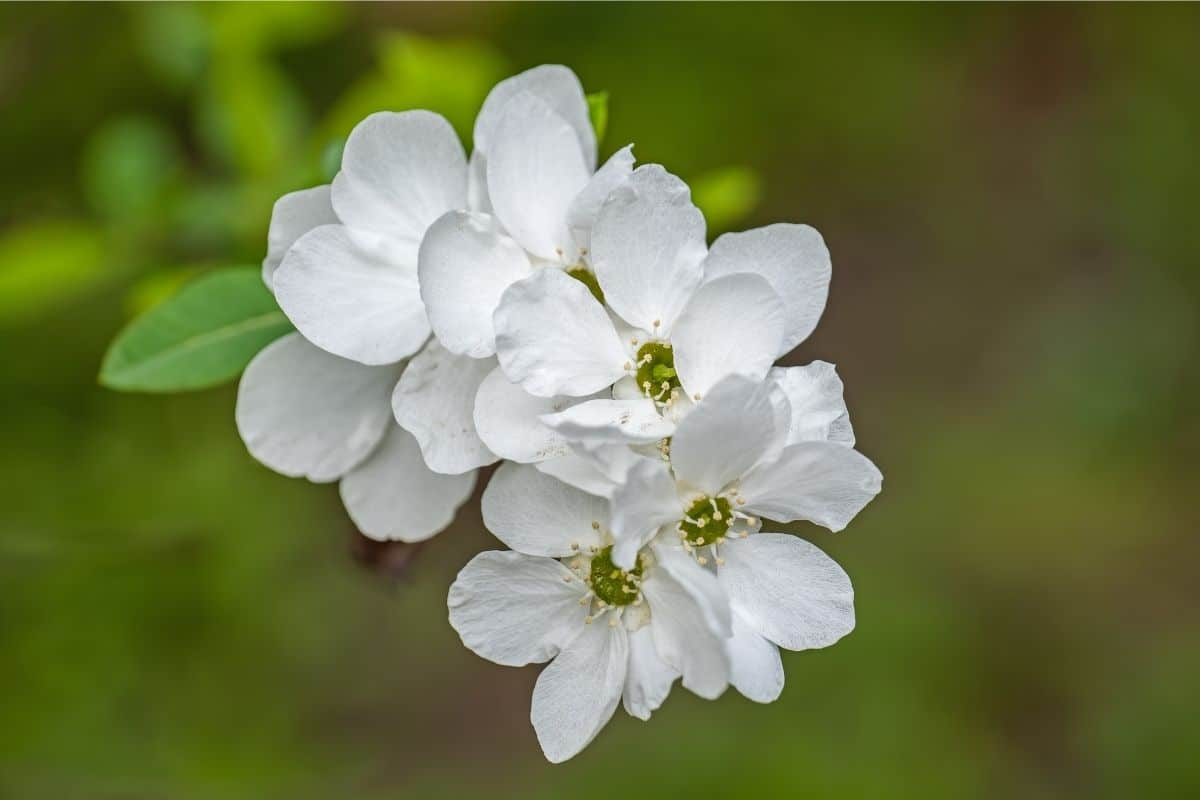 white Pearlbush flowers in the garden
