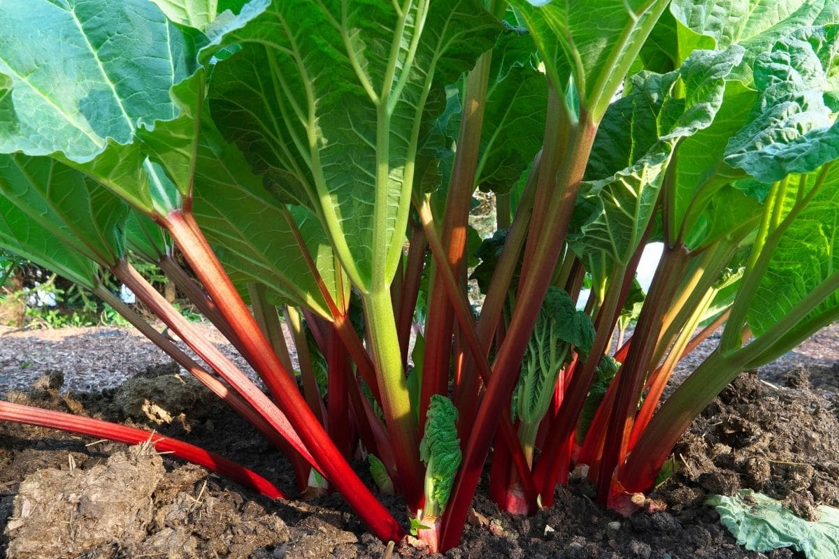 rhubarb plant growing in the vegetable garden