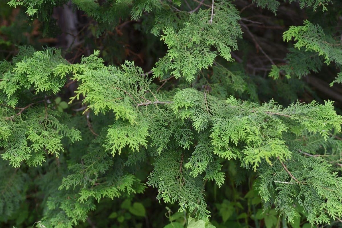 Siberian Cypress shrub with fern-like foliage in the garden