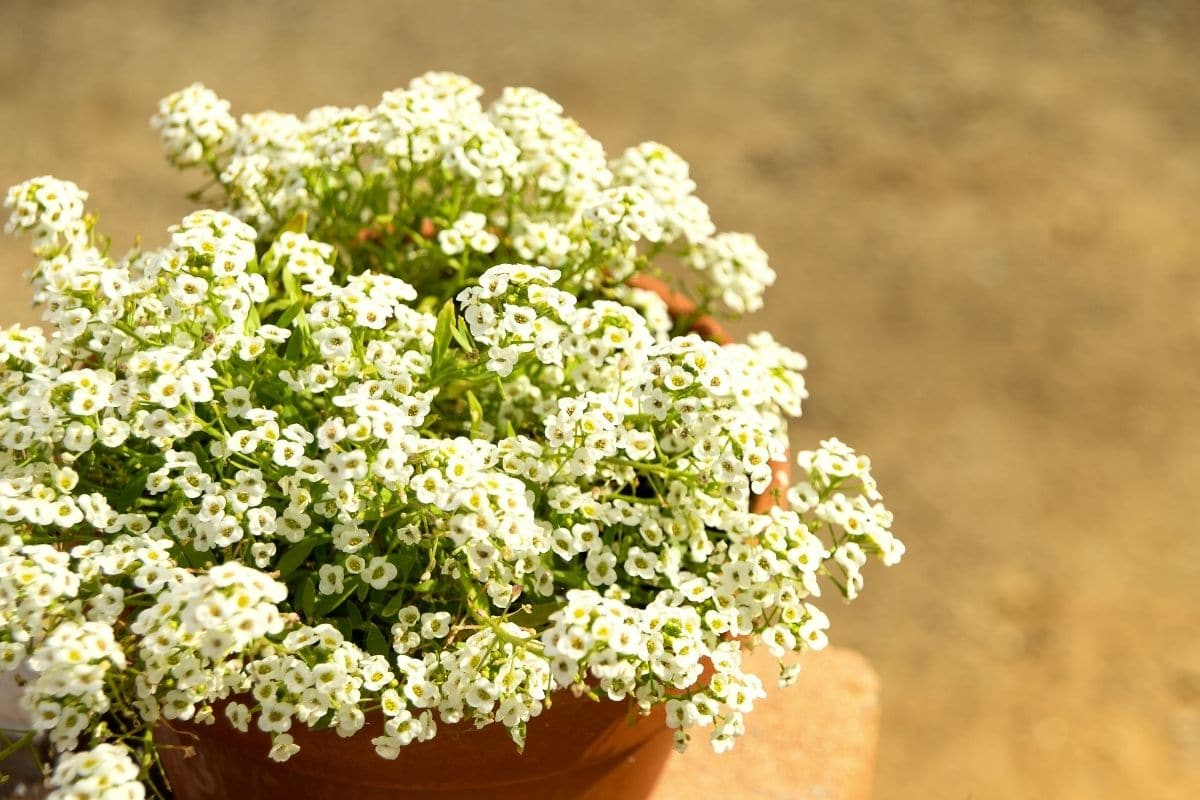 sweet alyssum with white flowers in a pot outdoors
