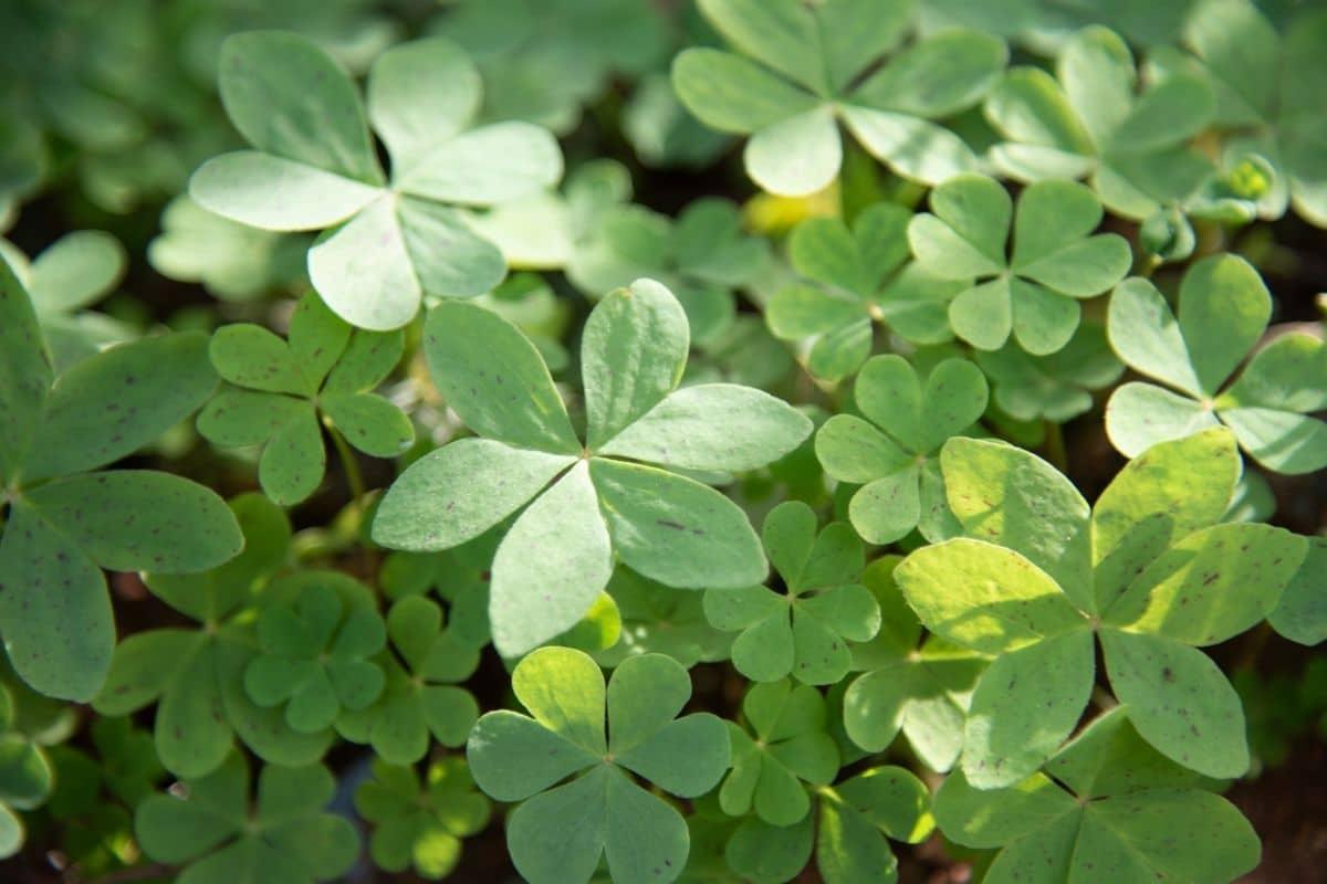 clover as cover crops in the garden