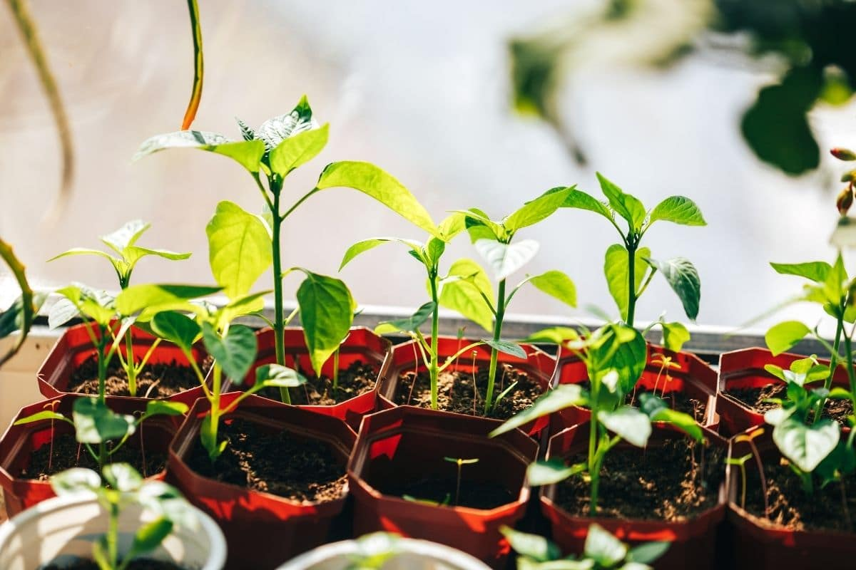 seedlings under the sun, to prepare for transplanting in the garden, hardening off the seedling outdoors