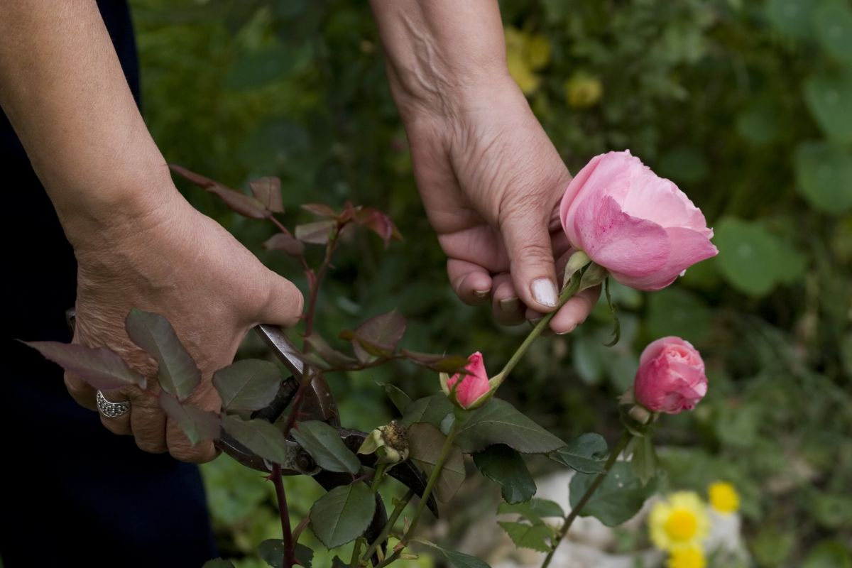 harvesting the pink roses using pruning tool