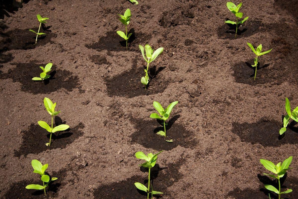 freshly transplanted seedling lined up in the garden
