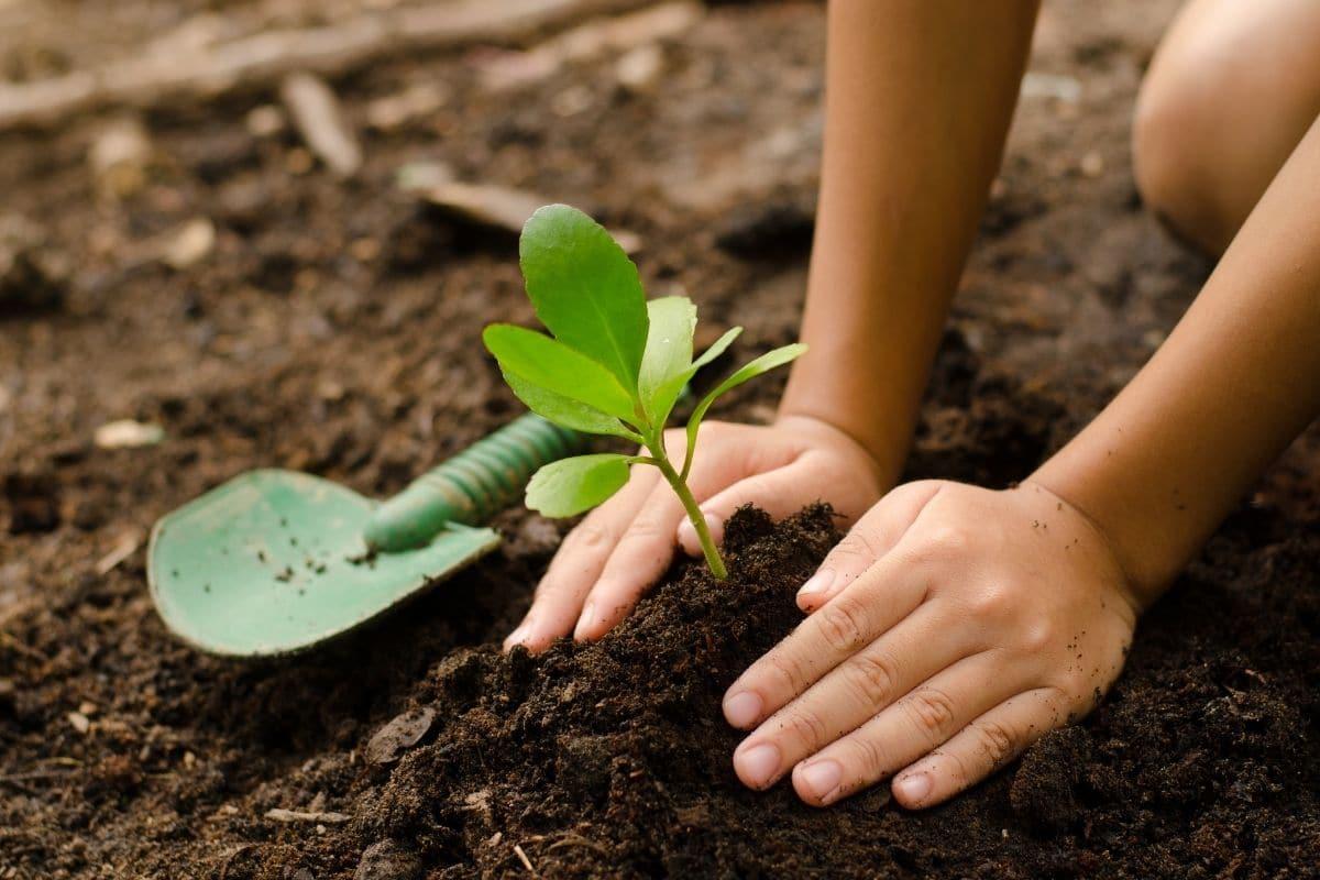 planting seedlings in the vegetable garden