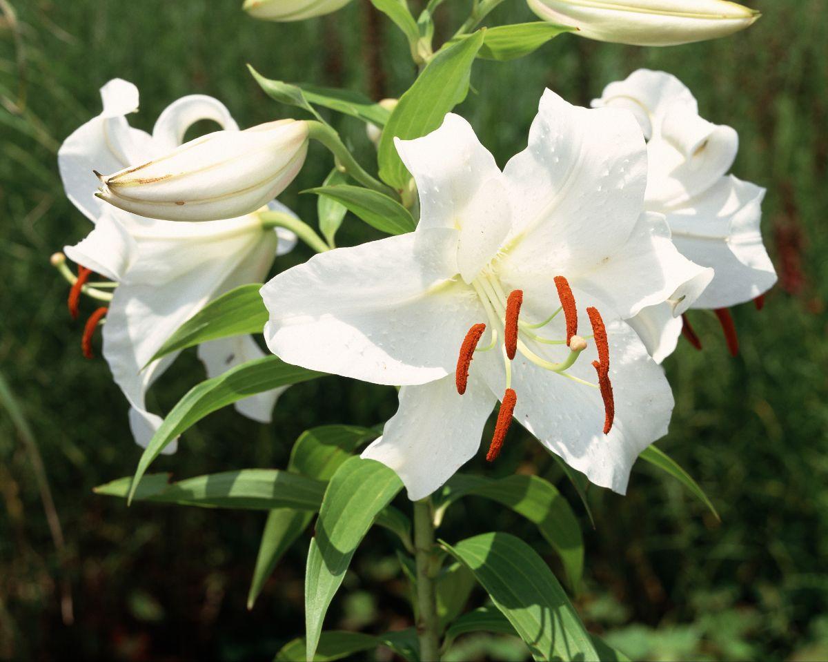 white Casablanca Lilies