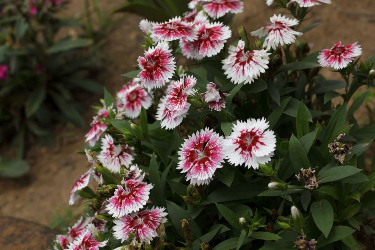 Dianthus growing in the garden by the hallway
