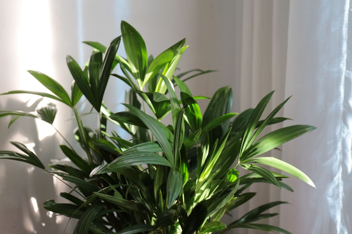 Lady Palm by the window with white curtain