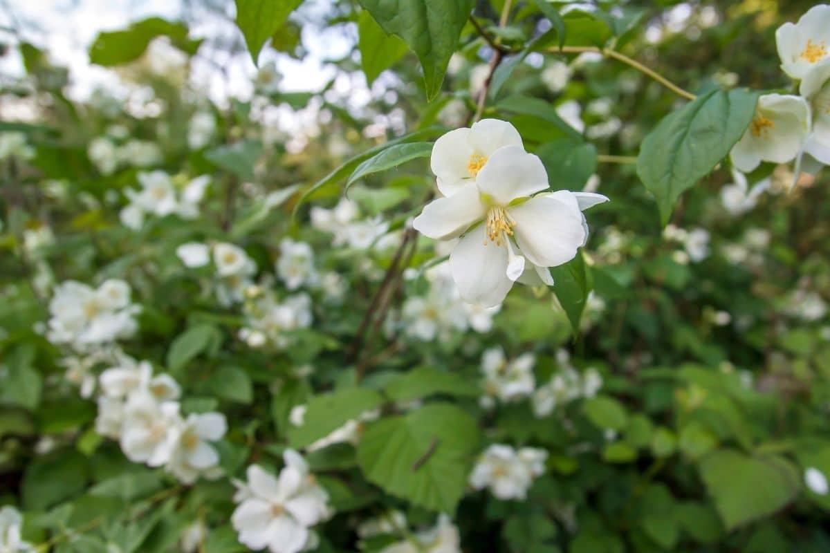 white Mock Orange shrub in the garden