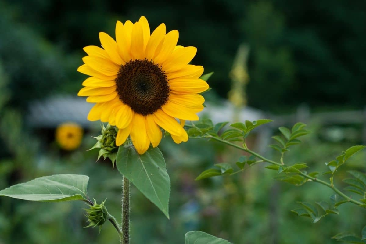 blooming sunflower in the vegetable garden