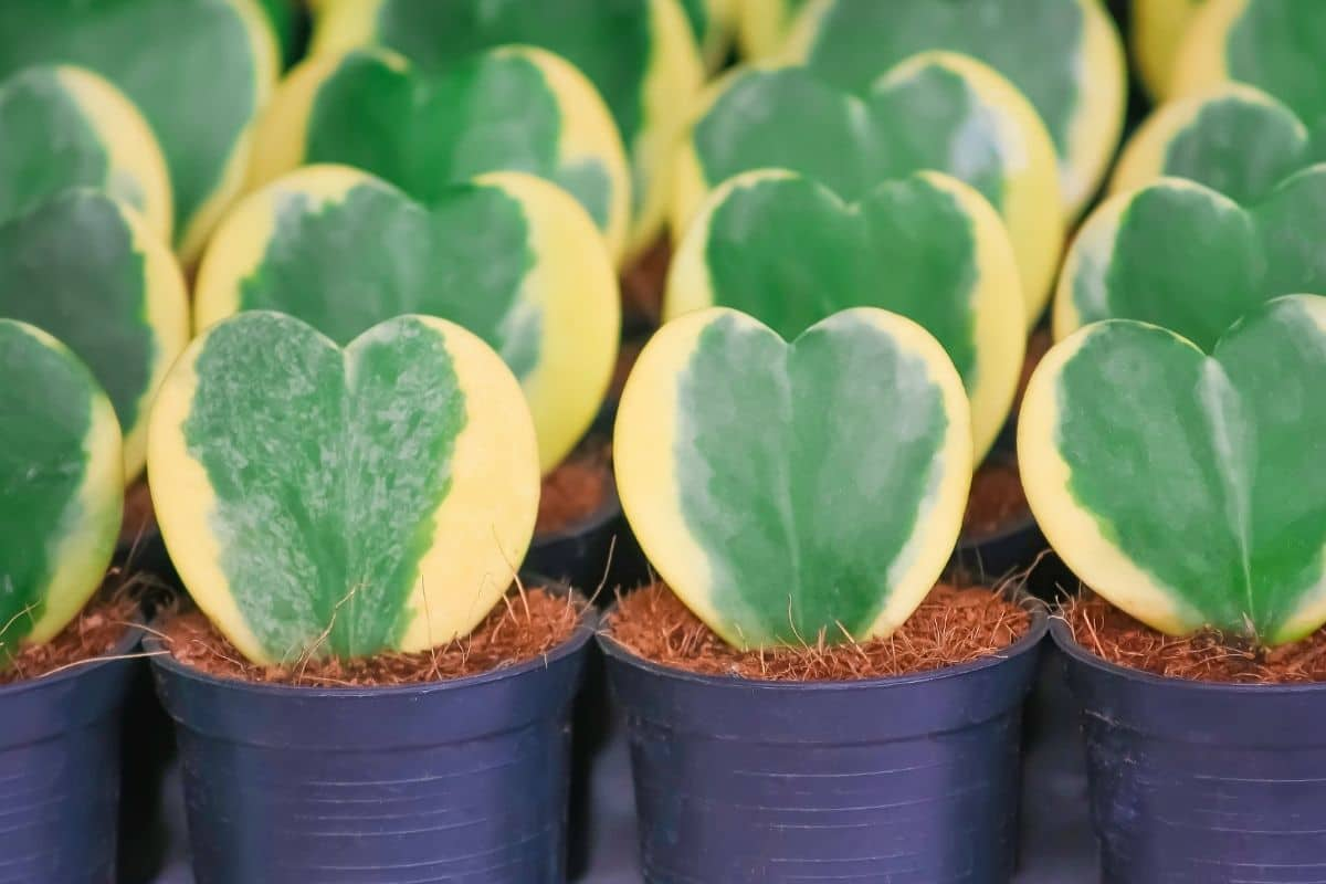 lined up Sweetheart hoya succulent or referred to as the Valentine plant in a black pot