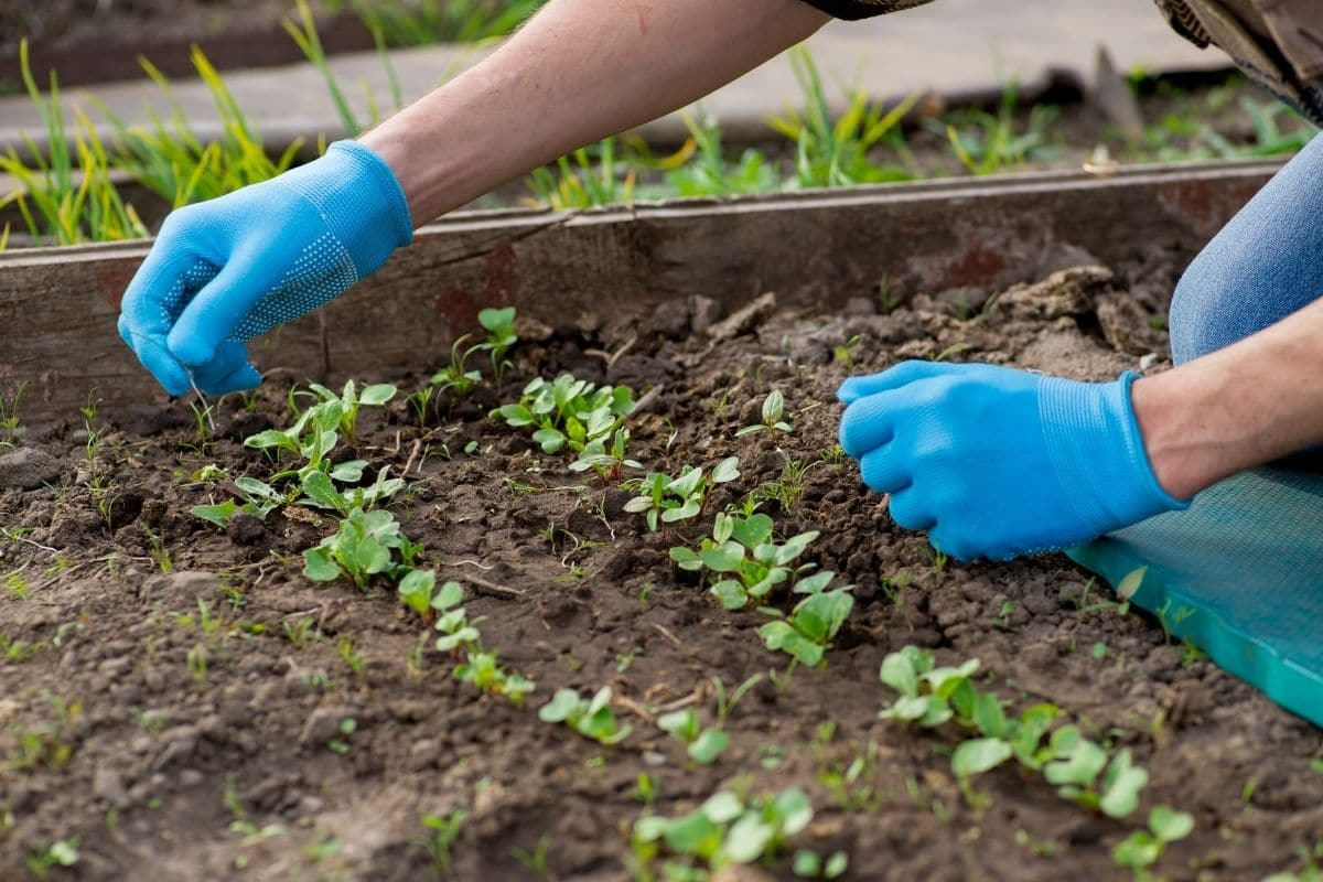 pulling weed from the garden bed with growing sprouts of vegetables