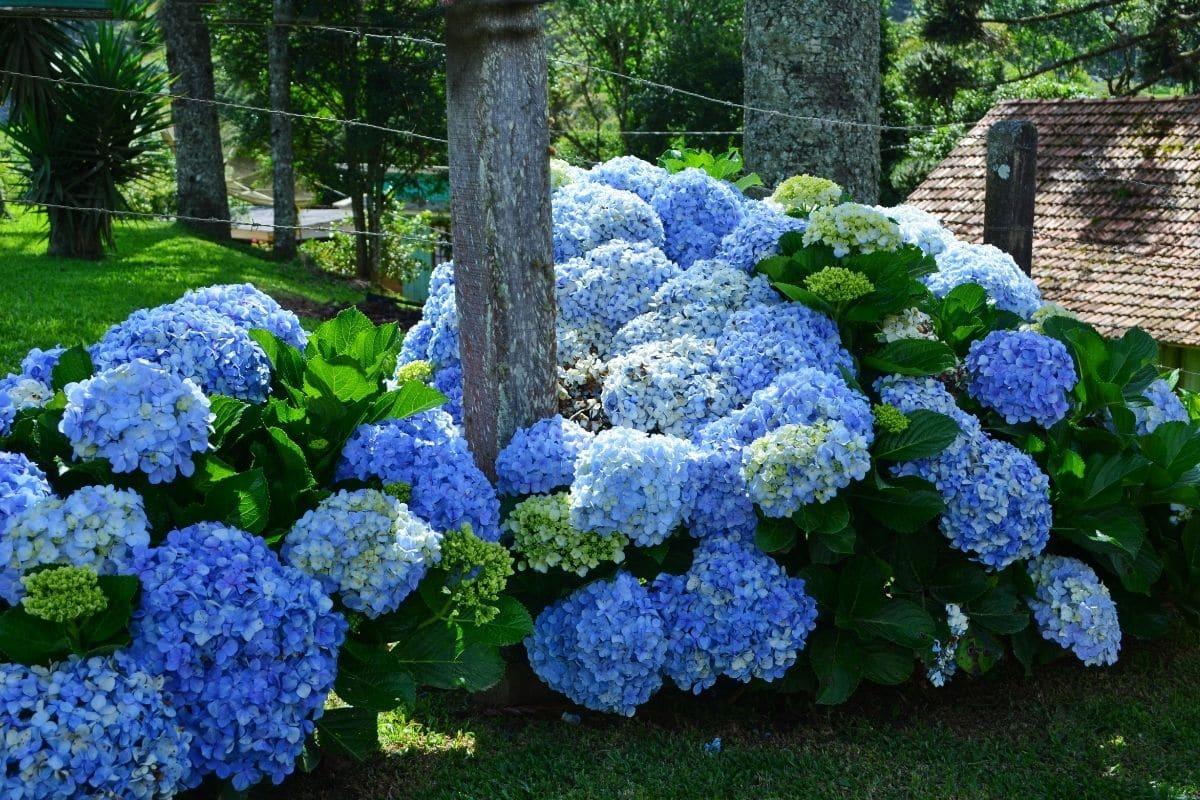 a healthy blooming blue hydrangea bush in the garden