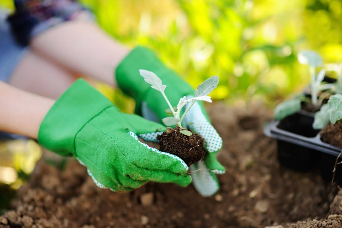 replanting and transferring the seedling in the vegetable garden bed