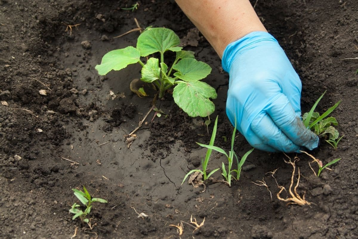 pulling out weeds beside the plant