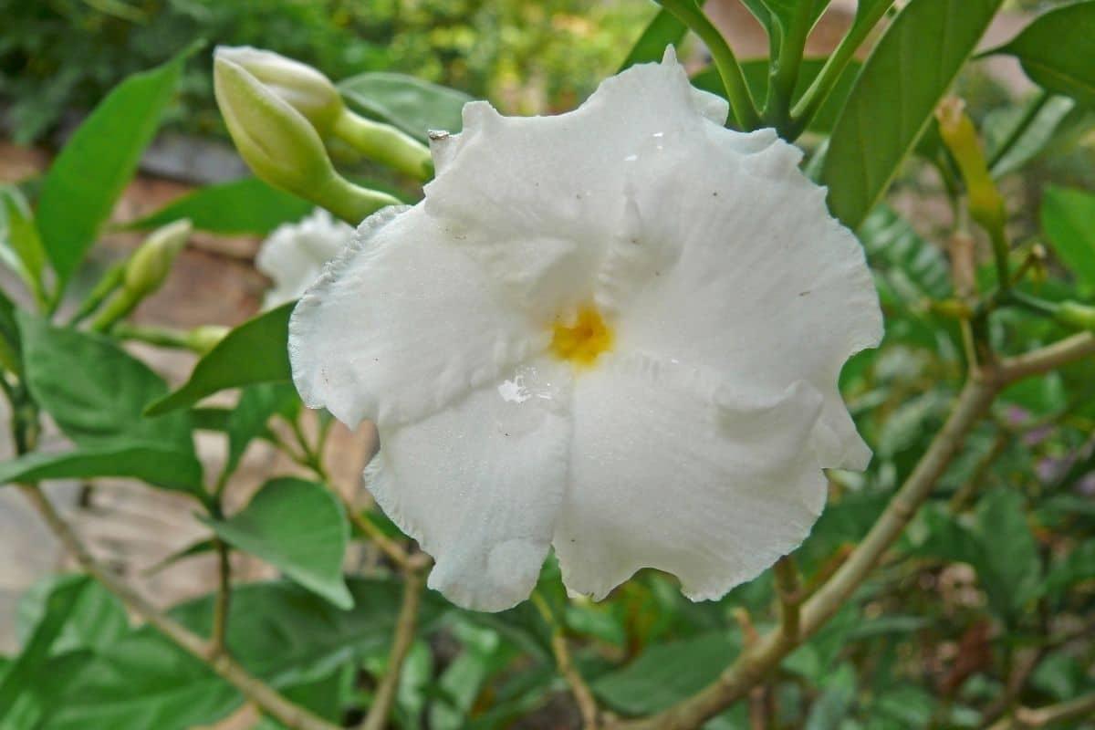 white Flore Pleno Lilies