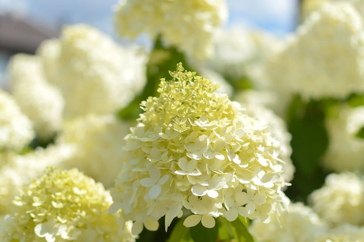 Limelight hydrangea with cone shape flowers blooming in the garden