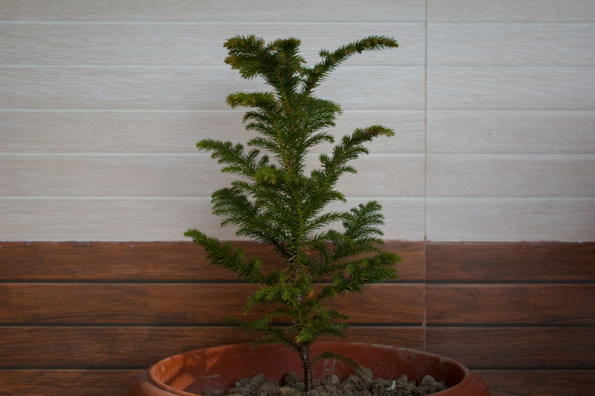 young growing Norfolk Island Pine in a pot indoors