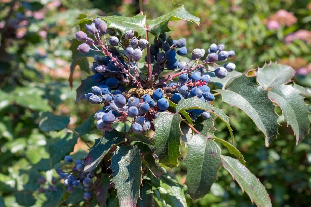 branch of Oregon Grape with berries and shiny evergreen leaves in the garden