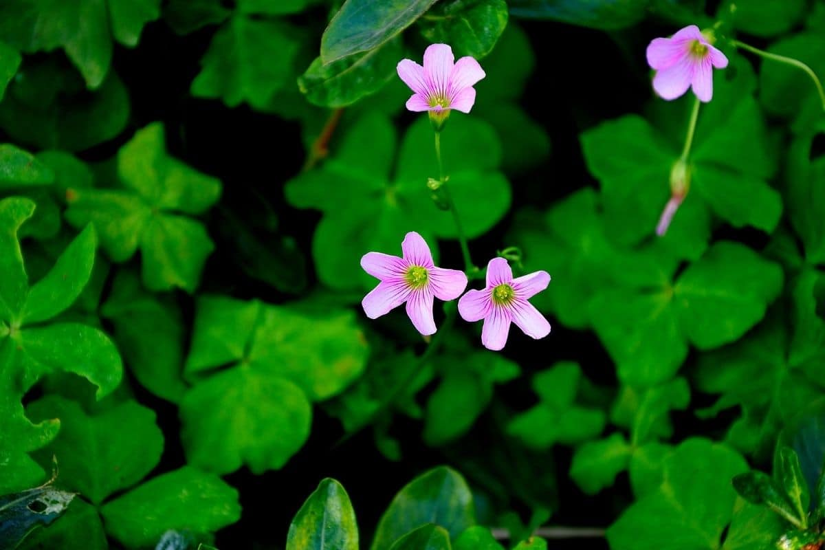 Silver Shamrock also known as sorrel, with green leaves shaped as shamrock and pink flowers
