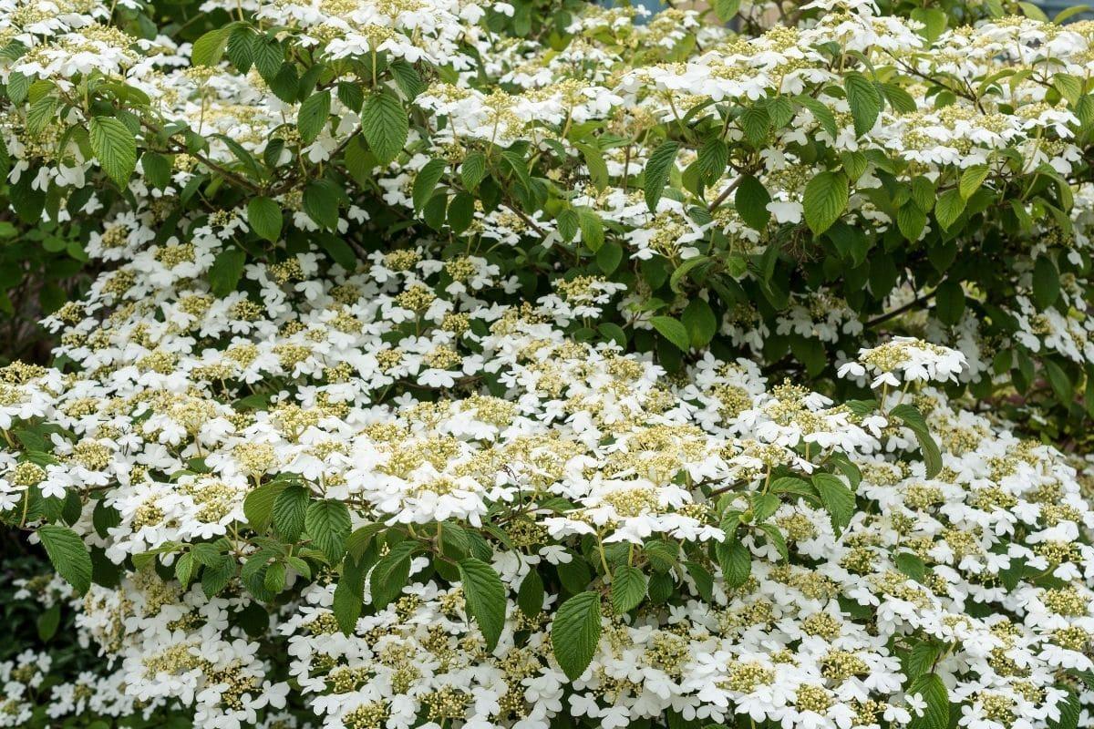 huge Viburnum shrub rapdily growing in the garden