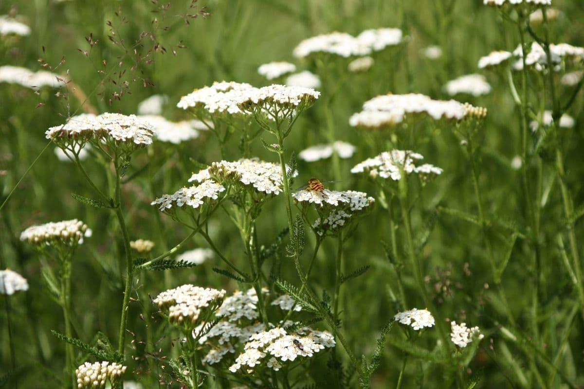 white yarrow flowers in the garden