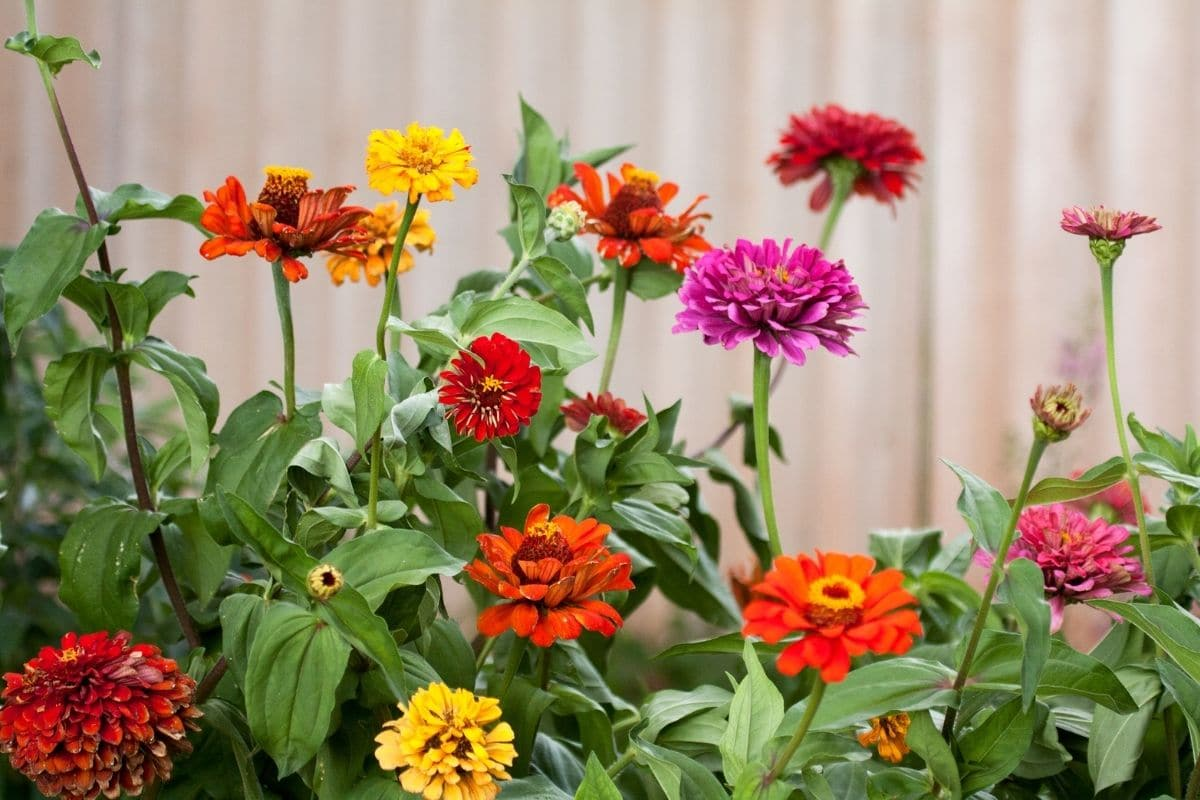 zinnias flowers of different colors blooming in the backyard garden