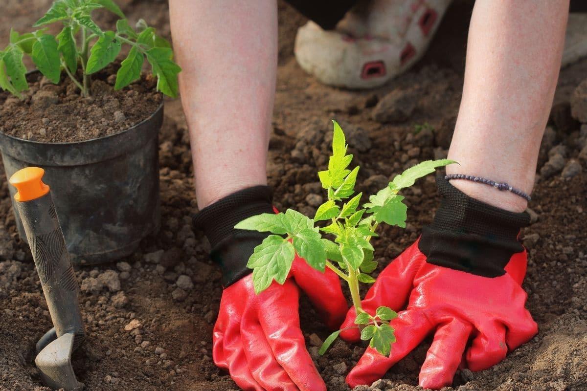 planting tomato soil in a bare soil in the garden
