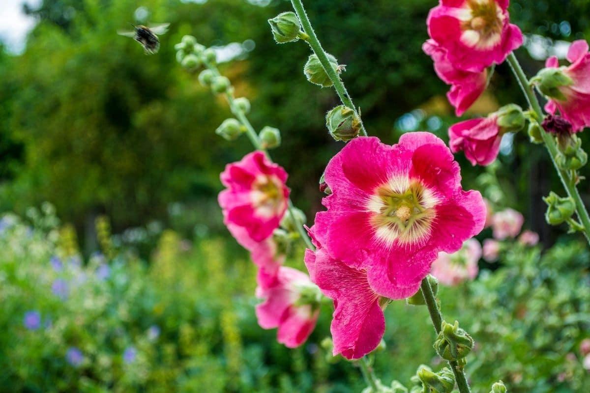 hollyhocks flowers blooming in the garden