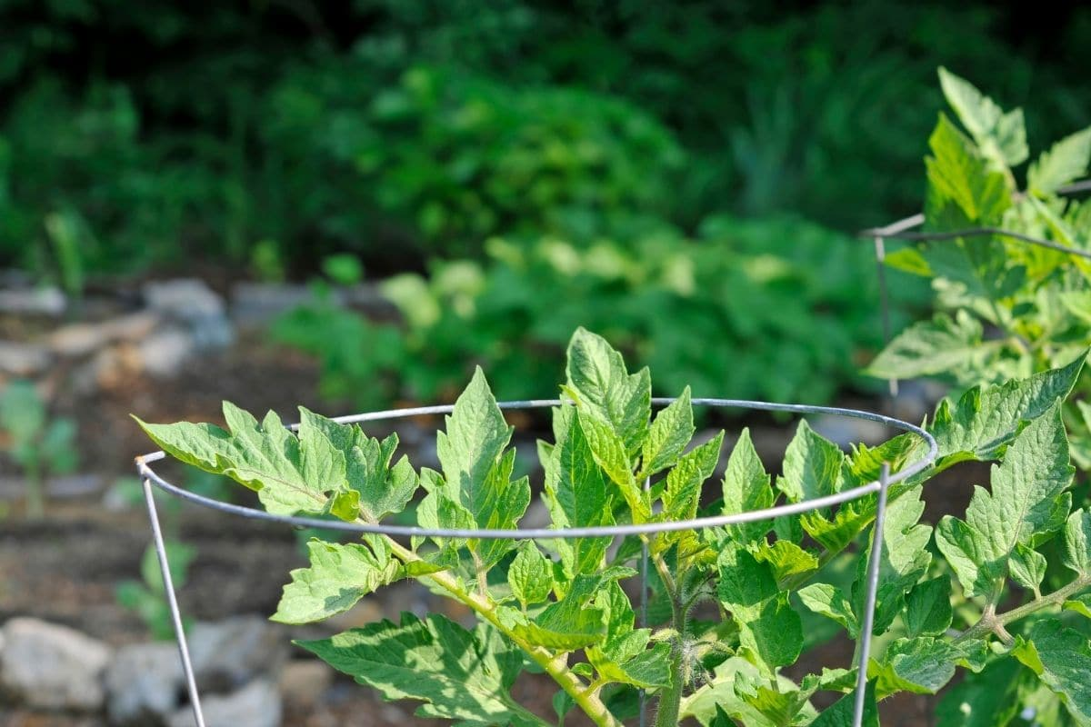 tomato plant with cage for support in the garden