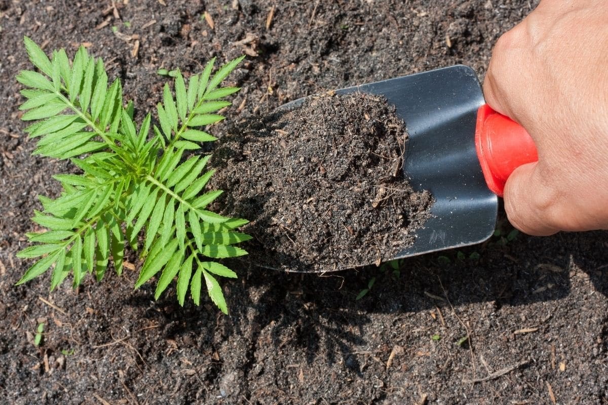 adding soil to the marigold seedling in the garden