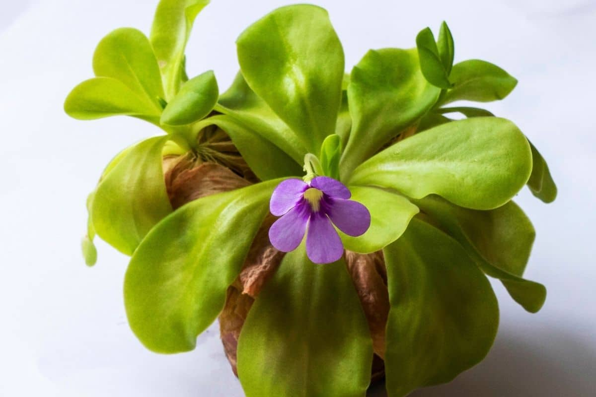 Butterwort or Pinguicula moranensis with purple flowers in a pot with white background