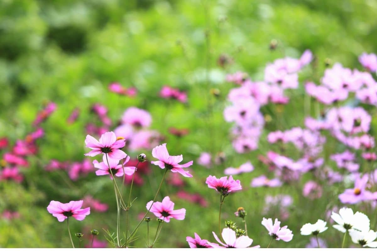 purple cosmos blossoming in the garden