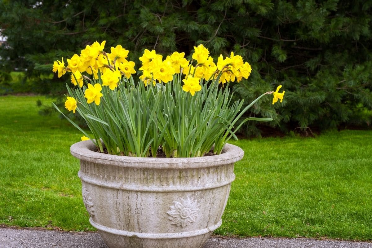 dwarf daffodils with yellow flowers in a pot outdoors