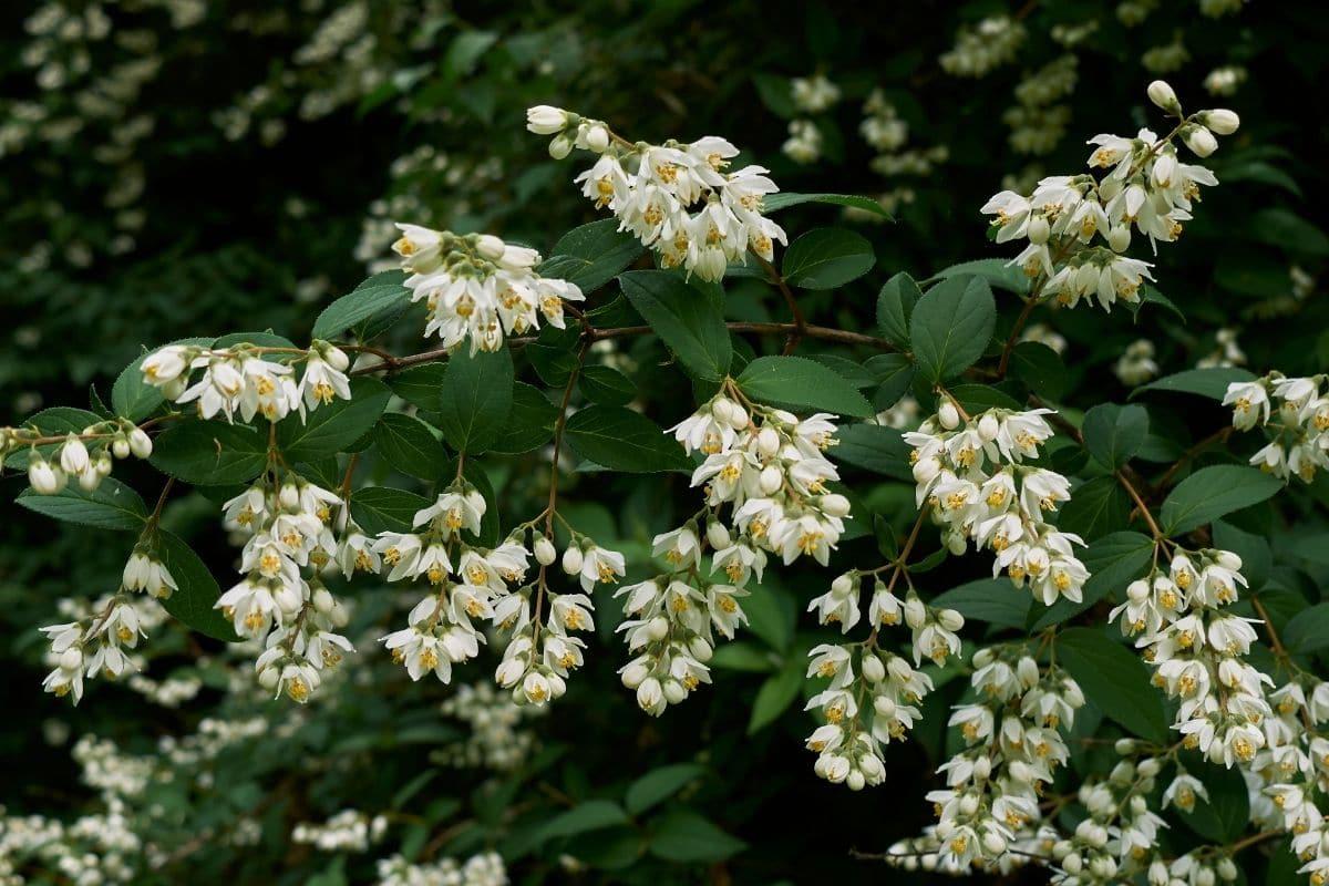 Dwarf Deutzia shrub in the garden